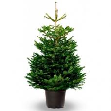 Живая елка в горшке 1.7-1.9 м