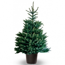 Живая елка в горшке 2-2.2 м